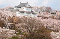 Sakura_kakuzan