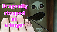 Dragonfly_stopped_at_finger