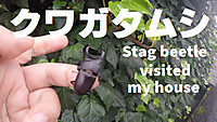 Stag_beetle_visited_my_house_hello_